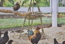 Chickens and On The Farm