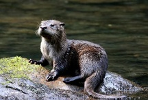 Critters in the Smokies / Get a look at all the critters that call the #Smokies home! / by Pigeon Forge Dept. of Tourism
