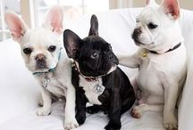 Fabulous French Bulldogs / by Kyle Watson