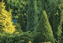 havut, conifers, evergreen plants, 針葉樹