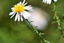 Texas Wildflowers / Wildflowers of Texas