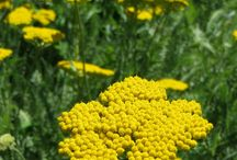 Yellow Perennials for Zone 5/6 / A collection of perennials for those of you looking for the perfect flower in the color yellow. / by Rice's Nursery
