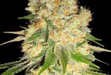 Marijuana Strains / All marijuana strains available in our seedshop at marijuanaseedshop.com