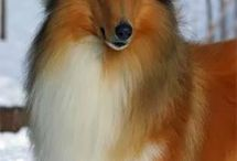All God's Creatures ... Collies and Shelties / by Jean Heavrin