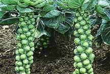 Garden Vegetables / by Sue