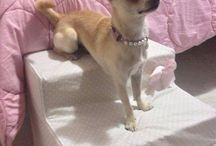 Chihuahua (Şivava)