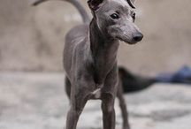 Italian greyhound ♥️