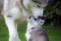 malamut i koniec kropka i inne zwierzaki też