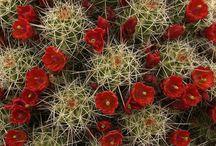 Cactusi!