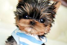 yorkie / by Beverly Skinner