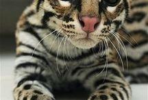 Ocelot cat . BEAUTIFUL!