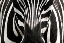 I just fell in LOVE with Zebras!