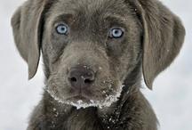 Cães/ Dogs