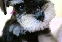 Adorable Mini Schnauzer Puppies / The cutest Minis on the web go here! :)