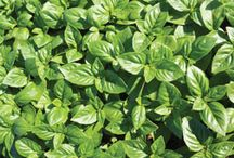 The Herb Garden / Herbs are very versatile - easy to grow and often boasting medicinal properties; they add flavour to cooked dishes as well as fresh salads