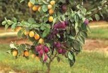 hedelmäpuu