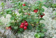 Bylinky a léčivky / Přehled bylinek a léčivých rostlin. http://www.pestovani.in/cz/bylinky-lecive-rostliny/
