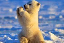 Kutup Ayıları ( Polar bears)