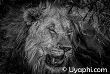 Lion (Panthera leo) / Lion (Panthera leo), King of the African jungle is awaiting your arrival.