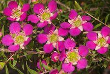 Australian flowers / Australian flowers