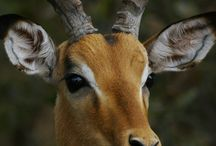 Impalas and Deer / Beautiful Awesome Animals
