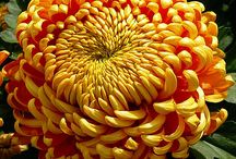 Horticulture chrysanthemums