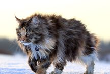 Cats | Maine Coon
