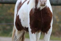 Chevaux / Les chevaux en plein défoulement ou au travail