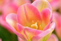 Tulip Sinfony/ Tulppanin lumoa