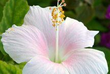 pfi - hibiscus
