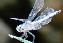 Dragonflies and Demoiselles