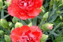 Karafiát(Hvozdík)(Dianthus)