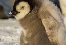 Baby pinguins