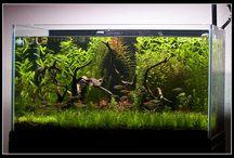 Aquaria: Freshwater / Freshwater aquarium fish, plants, invertebrates, and equipment.