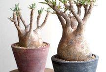 Pachypodium Adenium Albuca family