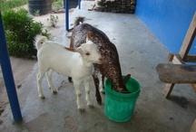Animals at Vijaliwa Vingi Project, Tanzania