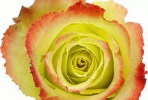 Hoja Verde rozen Ecuador / Uit Ecuador komen de mooiste rozen! Door het bijzondere klimaat hebben de rozen uit Ecuador grotere knoppen, dikkere stelen en intensere kleuren en is er continuïteit gedurende het hele jaar.