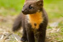 Pine marten / fisher reference