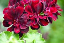 Ivy Geraniums/Pelargoniums