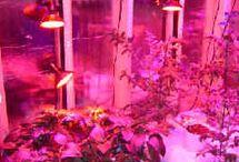 """LED Plante Lys / Kunstigt plante vækstlys (LED Growing Lights) kan anvendes for planternes vækst på flere forskellige måder.  1. At give alt det lys en plante har brug for at den skal vokse op. 2. At supplere sollys, især i vintermånederne, når dagtimerne er korte. 3. At øge længden af """"daglysdag"""" for at udløse en specifikk vækst og/eller blomstring."""