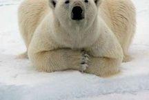 Orsi Bears
