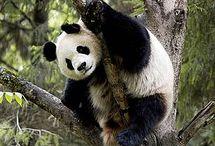 Project: panda ring
