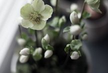 helleborus tease / christmas carol, christmas star, verboom beauty,