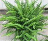 watering of ferns