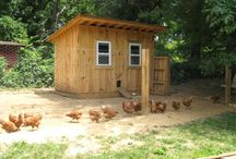 Backyard Chickens / Everything Chickens for your urban backyard or acreage.