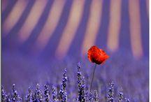 Lavender - a növény