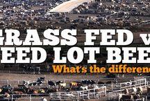 Feedlot / Cattle
