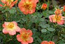 OSO Easy Roses