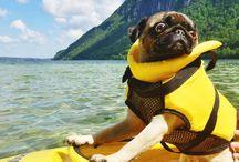Adventurous Pugs