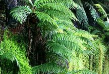 Samambaias Nova Zelândia